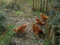 Bealtaine Cottage permaculture hens