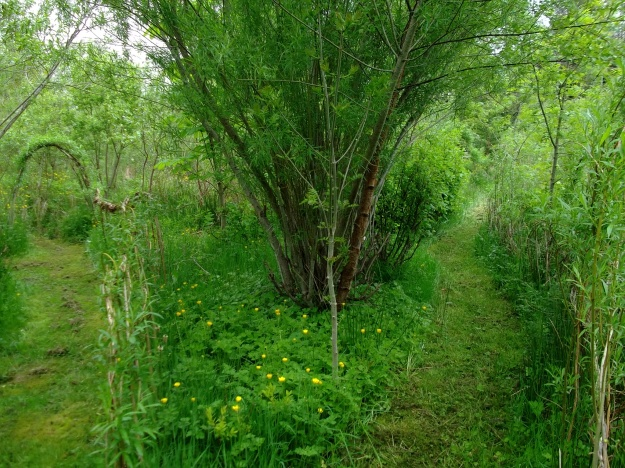 willow and birch grow together