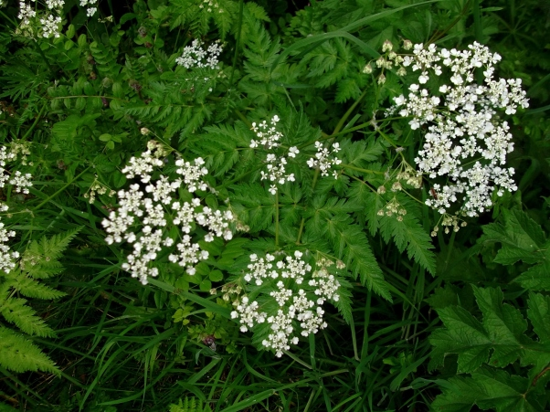 Sweet Cicely in bloom at Bealtaine Cottage
