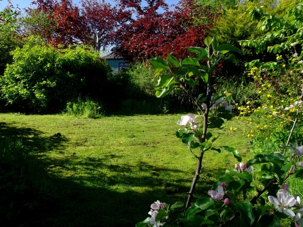 Young Apple tree at Bealtaine Cottage permaculture gardens