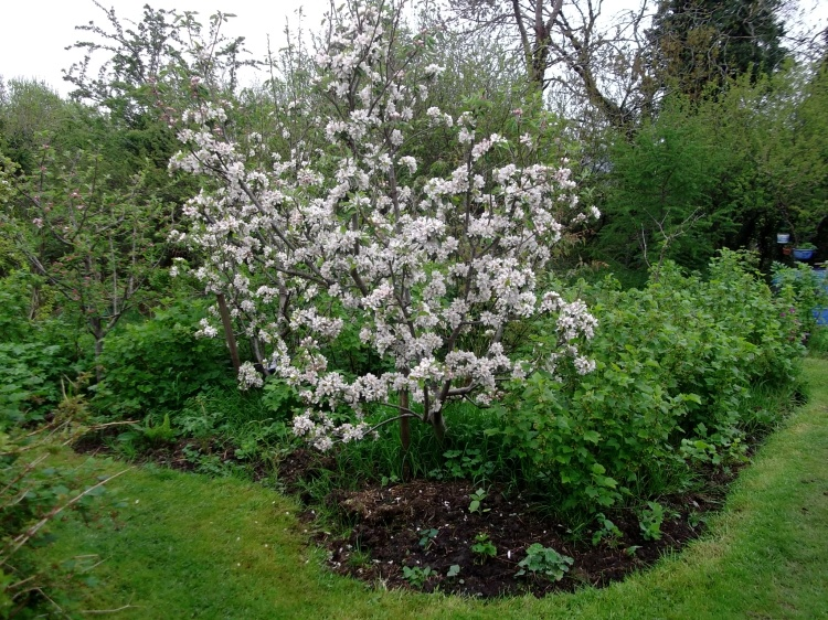 Apple blossom and blackcurrants at Bealtaine Cottage