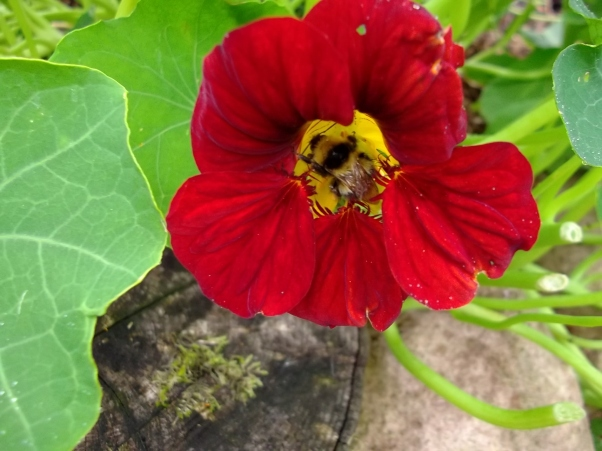 Bee on Nasturtium flower at Bealtaine Cottage