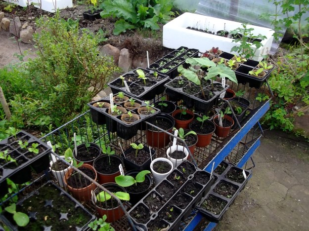seedlings in tunnel at Bealtaine Cottage